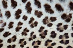 Pelliccia 02 della tigre Fotografia Stock Libera da Diritti
