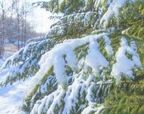 Pelliccia-albero branches2 Fotografia Stock