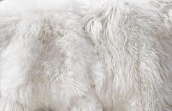 Pelliccia bianca fotografie stock