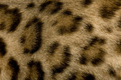 Pelliccia del Bengala fotografie stock