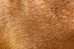 Pelliccia del cane Fotografie Stock Libere da Diritti