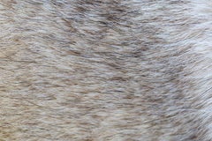 Pelliccia del cane Fotografia Stock