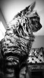 Pelliccia del gatto Fotografia Stock Libera da Diritti