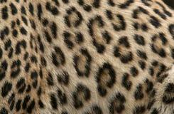 Pelliccia del leopardo Fotografia Stock Libera da Diritti