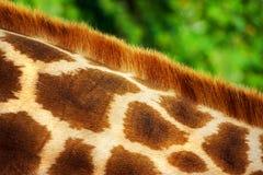 Pelliccia della giraffa Immagini Stock
