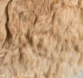 Pelliccia della lama come fondo Fotografia Stock