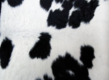 Pelliccia della mucca Fotografia Stock Libera da Diritti