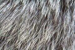 Pelliccia della volpe d'argento Immagini Stock