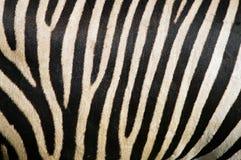 Pelliccia della zebra Fotografie Stock