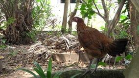 Pelliccia di pulizia del pollo della gallina video d archivio