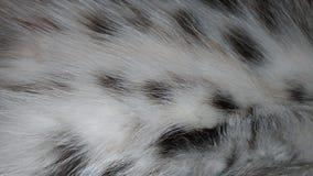 Pelliccia lanuginosa macchiata Fotografie Stock