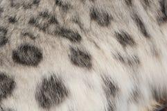 Pelliccia macchiata di un leopardo di neve Fotografia Stock