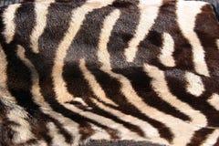 Pelliccia reale della zebra per gli ambiti di provenienza Fotografie Stock Libere da Diritti
