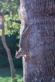 Pelliccia rossa dello scoiattolo divertente fotografie stock