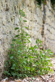 Pellitory-of-the-Wall (Parietaria judaica) plant Stock Photos