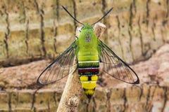 Pellucid Hawk Moth Stock Image