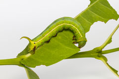 Pellucid Hawk Moth caterpillar Stock Photo