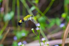 Pellucid hawk moth Stock Image