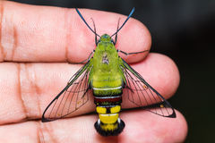 Pellucid hawk moth Royalty Free Stock Image