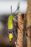 Pellucid hawk moth Stock Images