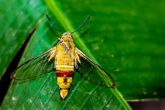 Pellucid hawk moth in close up view stock images