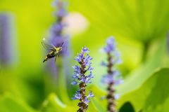 Pellucid hawk moth fly to flower royalty free stock photos