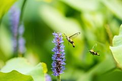 Pellucid hawk moth with flower Royalty Free Stock Images