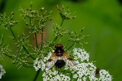 Pellucid hoverfly on a white flower Royalty Free Stock Photo