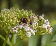Pellucid komarnica na kwiacie Zdjęcia Royalty Free