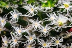 Pelo blanco en el cactus verde Imagen de archivo