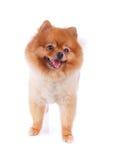 Pelo corto del marrón del perro de Pomeranian Imagen de archivo libre de regalías