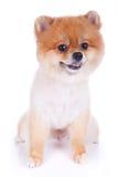 Pelo corto del marrón del perro de Pomeranian Imagen de archivo