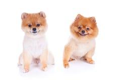 Pelo corto del marrón del perro de Pomeranian Foto de archivo