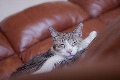 Pelo corto nacional adulto Tabby Cat Sleeping rayada en el sofá de cuero Imagen de archivo libre de regalías