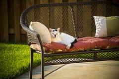 Pelo corto nacional blanco y negro adulto Feral Stray Cat Laying en el sofá en patio trasero Foto de archivo