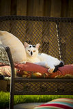 Pelo corto nacional blanco y negro adulto Feral Stray Cat Laying en el sofá en patio trasero Imagen de archivo libre de regalías