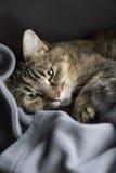 Pelo corto nacional Cat Laying del calicó rayado adulto en la manta que mira la cámara fotos de archivo libres de regalías