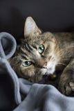 Pelo corto nacional Cat Laying del calicó rayado adulto en la manta que mira la cámara Imagenes de archivo