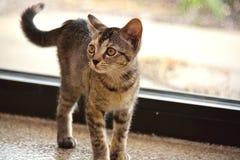 Pelo corto nacional Kitten Standing de la concha de Brown delante de la ventana imagen de archivo libre de regalías