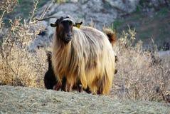 Pelo de oro de una cabra del angora imagenes de archivo