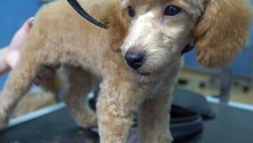 Pelo de perro del corte de pelo del caniche del albaricoque del perrito en salón del animal doméstico almacen de video