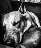 Pelo del cagnolino fotografie stock