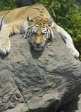 Pelo della tigre Fotografia Stock