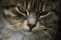 Pelo gris suave y ojos verdes hermosos Fotografía de archivo