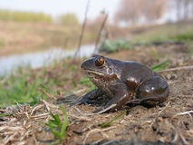 Pelobates fuscus. Common spadefoot near the reproduction pond Stock Photo