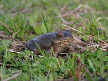 Pelobates fuscus - in the grass. Common spadefoot walking in the grass to the reproduction pond Stock Photography