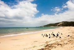 Pelocans op het strand Stock Foto's