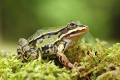 Pelophylax esculentus Royalty Free Stock Image