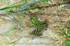 Pelophylax esculentus, Jadalna żaba, Rana Comune, Włochy Obraz Royalty Free