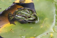 Pelophylax Pelophylax. Pelophylax is a genus of true frogs widespread in Eurasia, with a few species ranging into northern Africa royalty free stock photo